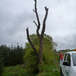 The tree just before felling