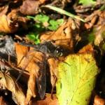 Black Darter Male Autumn leaves_web