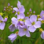 cuckooflower1