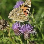 Painted Lady©MartinFowler