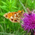 Small Pearl Bordered Fritilary_web