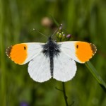 orange tip_53867416_web