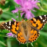 Painted lady©AinarsAunins