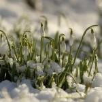 snowdrops_45017056_web