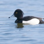 tufted duck_115032736_web