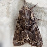 Pale shouldered brocade