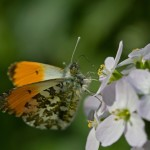 orange tip_43580512_web