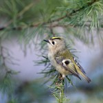 goldcrest_63150352_web