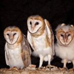3 young barn owls_78289537_web