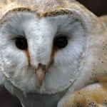 barn owl face_8053576_web