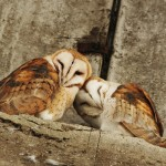 barn owl pair104147639_web